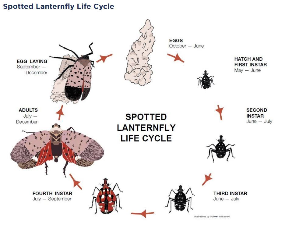 Penn State Extension SLF Life Cycle