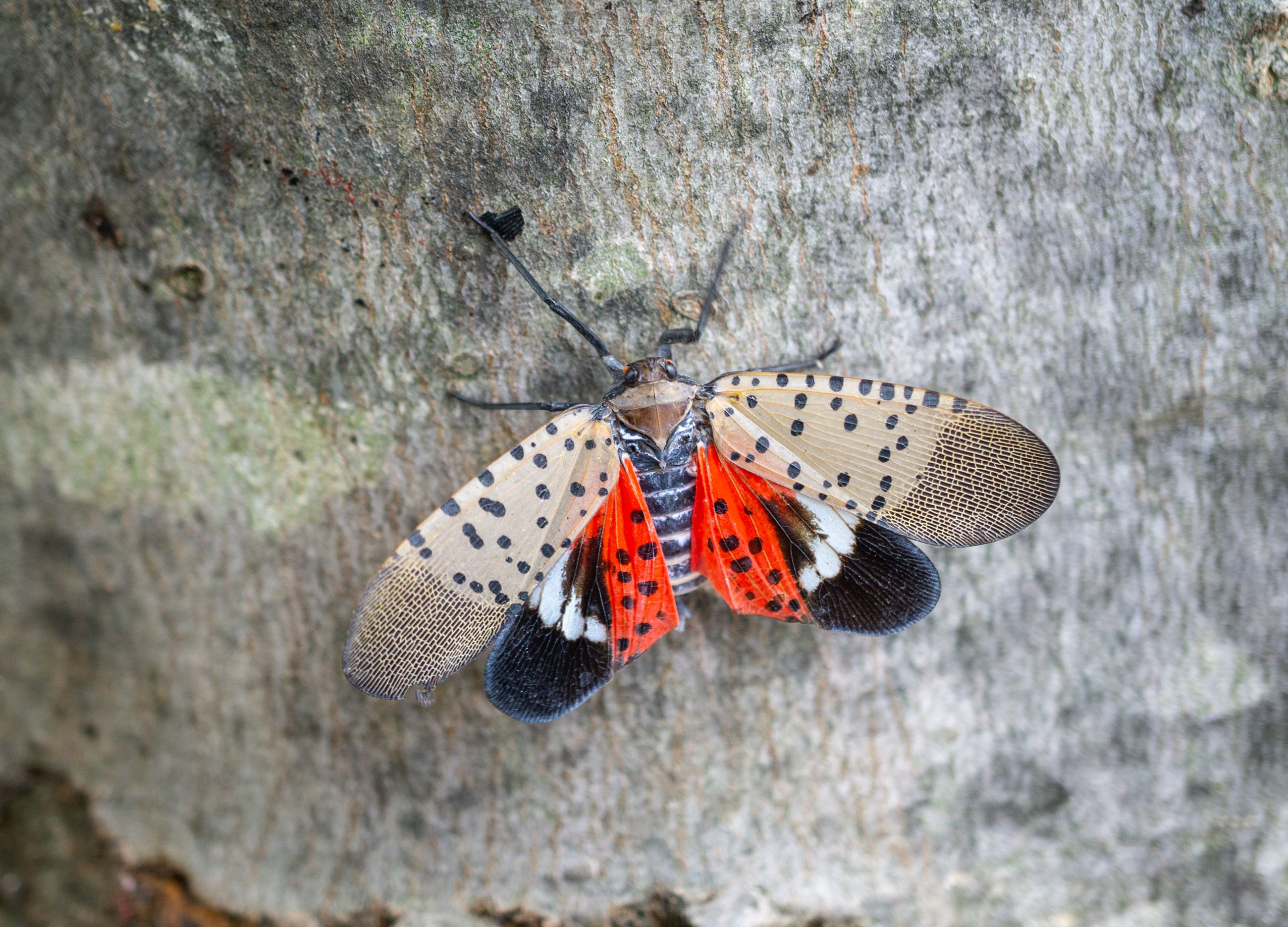 Spotted-lanternfly-on-maple-tree